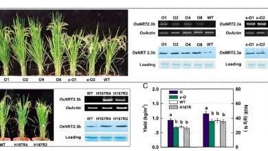 Photo of پروتئینی برای افزایش 40 درصدی محصول برنج