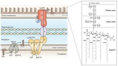 Photo of انتقال و تشکیل لیپو پلی ساکاریدها در غشای خارجی: مدل PEZ