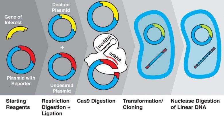 ترانفورماسیون با کارآیی بالا با کریسپرcas9