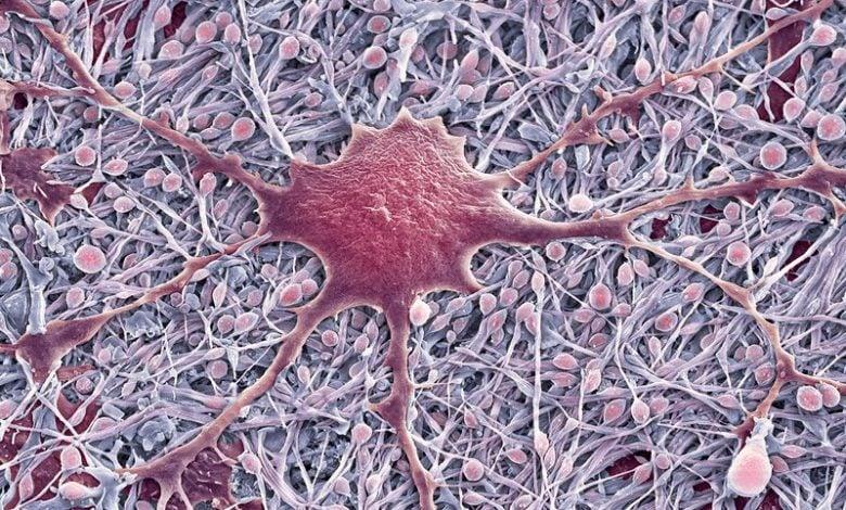 سلول های معمول مغزی از طریق مسیرهای غیر منتظره ای می توانند به شکل دهی سیستم عصبی بپردازند