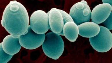 Photo of بهبود فرآیند تخمیری مخمرها با تغییر رفتار سلولی