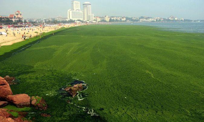 امروزه شکوفایی جلبکی (algal bloom) که به رشد بیش از مقدار معمول جلبک ها در اثر عوامل گوناگون گفته می شود، به یکی از معضلات مناطق ساحلی تبدیل شده است. مواد سمی ترشح شده از آن ها می تواند برای اکوسیستم و حتی انسان ها سمی باشد. این پدیده تحت تاثیر افزایش دما و ورود رود های مملو از موادی مانند نیترات ها و فسفات های فاضلاب هاست.