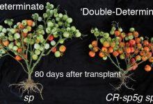Photo of زودرس نمودن گیاهان با استفاده از سیستم CRISPR-Cas9