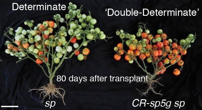 زودرس نمودن گیاهان با استفاده از سیستم CRISPR-Cas9