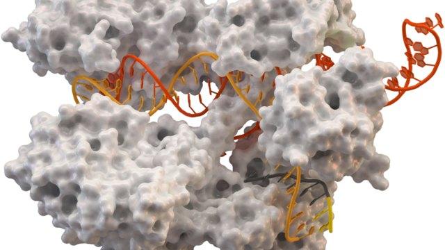 پروکاریوت ها انواع متنوعی از سیستم های CRISPR-Cas را برای مقابله با مواد ژنتیکی بیگانه به کار می برند، اما ما عموما از Cas9 برای دست ورزی ژنتیکی استفاده می کنیم.