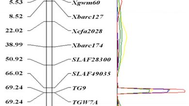 Photo of شناسایی و کلون ژن TaTGW-7A مرتبط با وزن دانه در گندم از طریق SLAF-SEQ-BSA