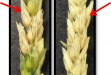 کشف ژن مقاومت به فوزاریوم سوختگی سنبله در گندم