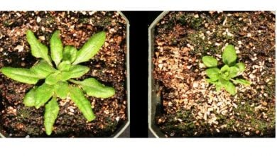 بیان آنزیم GH3.5 در گیاه آرابیدوپسیس