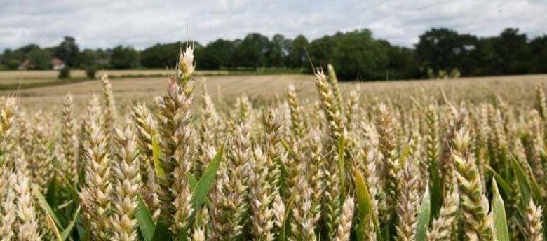 محققین یک مولکول سنتزی ایجاد کردند که با اعمال آن بر محصولات زراعی (گندم) اندازه و میزان نشاسته ی دانه های گندم تا 20 درصد افزایش می یابد.