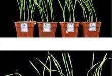 Photo of شناسایی تک ژن پر اثر در افزایش مقاومت به تنش گرمایی و تنش های غیر زنده در گیاه گندم!
