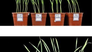 شناسایی تک ژن پر اثر در افزایش مقاومت به تنش گرمایی در گیاه گندم