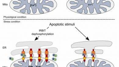 ردپای فعالیت IRBIT در فرآیند آپوپتوز