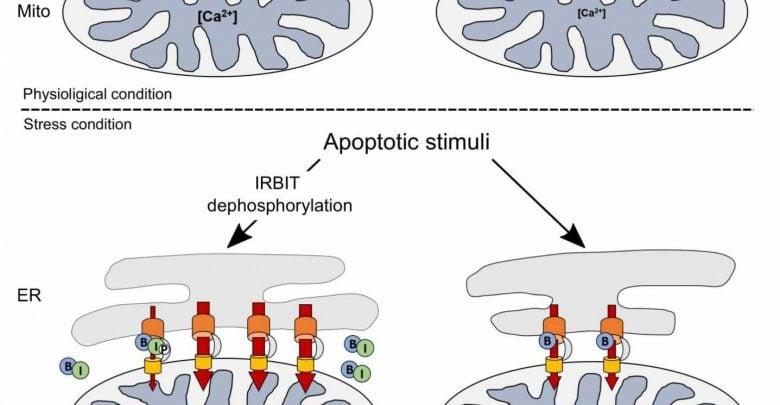 بر اساس گزارشي از پژوهشگران، مولكولي كه تصور مي شد از آپوپتوز جلوگيري می كند، مي تواند عامل مرگ سلول باشد. اين مولكول IRBIT نام دارد.