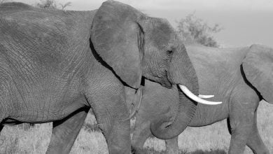 Photo of آنچه انسان ها از فیل ها در مورد سرطان می آموزند