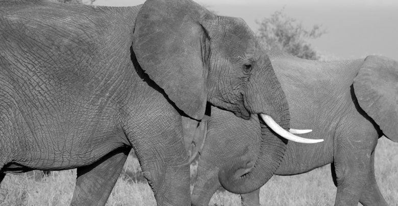 دانشمندان در تلاش اند تا راهی برای خلاصی از سرطان پیدا کنند در حالی که فیل ها سالهاست که از این بیماری خلاصی یافته اند.