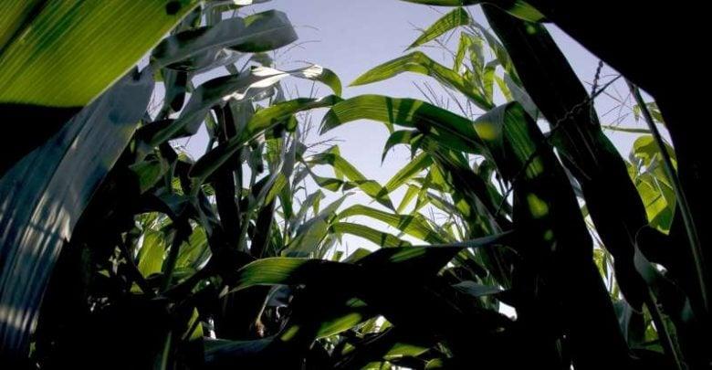 دانشمندان گمان می کردند که در همه گیاهان، برگ های راسی می توانند در تبدیل نور شدیدتر به کربوهیدات کارآمد تر باشند. در حالی که برگ های پایینی میتوانند در پردازش نور با شدت کمتر که از میان شاخ و برگ عبور میکنند کارامد تر باشند.