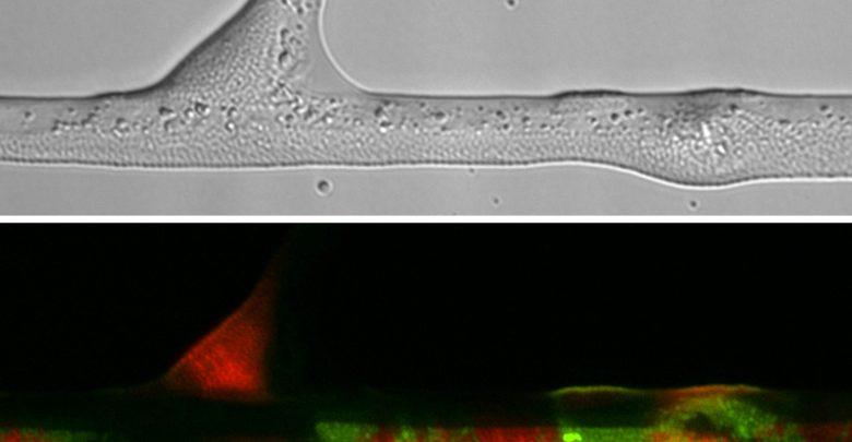 باکتری های خاک از ساختار منشعب و نخ مانند قارچ ها برای حرکت و دسترسی به منابع غذایی استفاده می کنند.