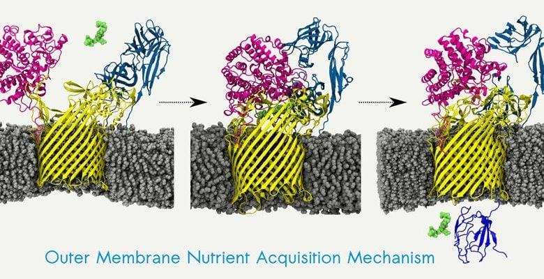 ماشین های پدال دار، شیوه ی جذب مواد غذایی باکتری های روده - زیست فناوری -زیست فن