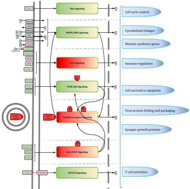ترسیم مسیرهای پیام رسانی سلولی تحت تاثیر ویروس هاری