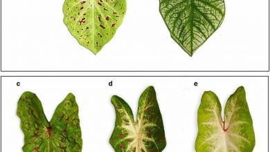 Photo of کنترل تک ژنی رنگ اصلی برگ گل کلادیوم
