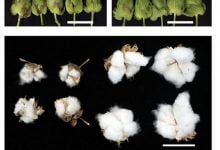 Photo of بیوتکنولوژی باز هم به کمک کشاورزان شتافت! کنترل مگس سفید