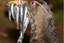 باکتری های کنترل کننده ی آلودگی در مرغان دریایی