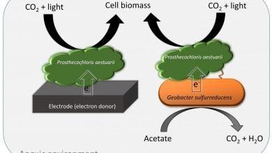 Photo of فتوسنتز بیهوازی بوسیله انتقال مستقیم الکترون بین گونههای باکتریایی