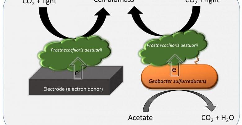 باکتریهای فتوسنتزکننده به طور غیرمستقیم مسئول تولید نیمی از غذا و مواد آلی مبتنی بر کربن در جهان هستند. به تازگی محققان نوع جدیدی از فتوسنتز مشارکتی را ما بین دو گونه باکتریایی کشف کردهاند.