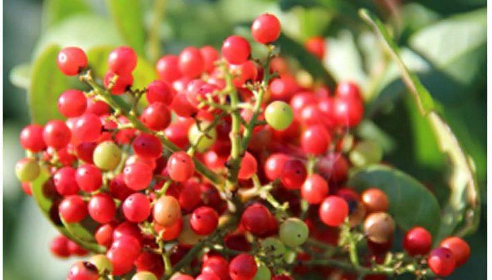درخت فلفل برزیلی یا aroeira (با نام علمی Schinus terebinthifolia ) که در نواحی آمریکای لاتین به وفور یافته میشود، به طور کلی به عنوان یک علف مضر شناخته میشود ولی در پزشکی سنتی این نواحی کاربردهایی هم دارد؛ از جمله به عنوان ماده ی ضد عفونی کننده برای درمان زخمها و عفونتهای مجاری ادراری و تنفسی. همچنین عصارهی پوست آن خواص ضدباکتریایی دارد.