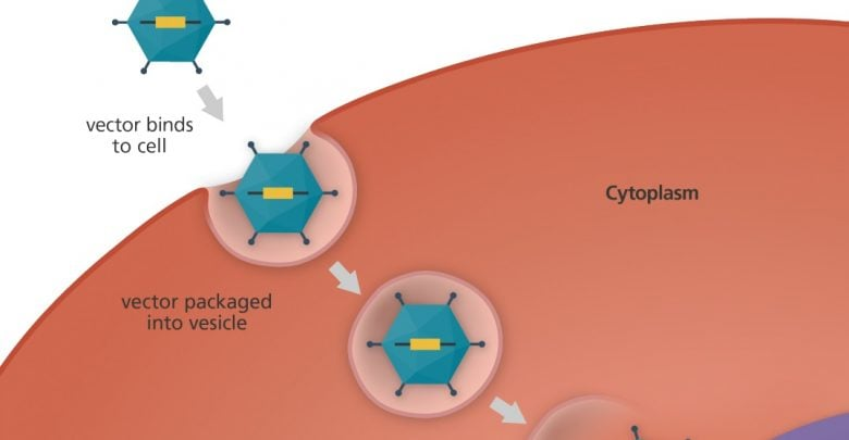 دانشمندان در تحقیق نوینی با استفاده از یک وکتور ویروسی توانسته اند، موش دارای ژن جهش یافته را درمان کنند؛ این جهش، عامل اختلال شنوایی ژنتیکی بوده است.