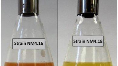 Photo of کشف باکتریهای جدید با قابلیت سمزدایی از اکسیدهای فلزی