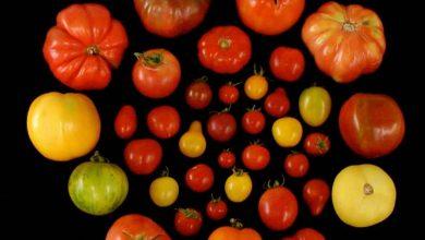 Photo of گوجه ها را دوباره مزه دار کنیم