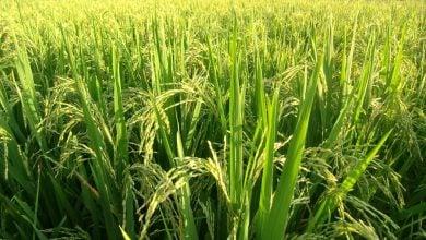 Photo of بهبود فتوسنتز در گیاه برنج با بیان پروتئین شبه فردوکسین گیاهی