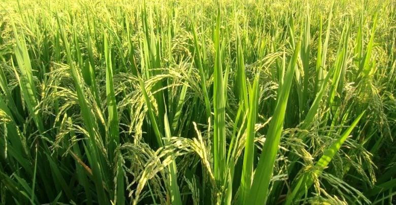 بهبود فتوسنتز در گیاه برنج با بیان پروتئین شبه فردوکسین گیاهی
