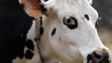 Photo of مهندسی ژنتیک، تکنولوژی پیشرفته ای برای حیوانات مزرعه ای