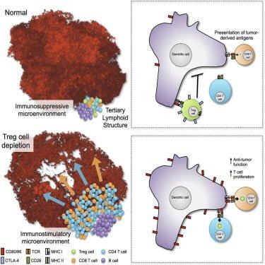 سلول های لنفاوی ذاتی (ILC)، سبب محدودیت رشد سلول های T و کاهش تولید سیتوکین ها