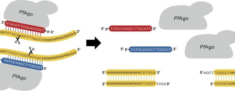 آنزیمهای برشی،ابزارهای مهمی در تحقیقات ژنومیک هستند. آنها با قطع کردن DNA در یک مکان مشخص، فضایی را بوجود میآورند که در آن DNA خارجی میتواند با اهداف ویرایش ژن به آنها الحاق شود. این فرایند تنها به وسیله آنزیمهای برشی طبیعی انجام نمیشود، بلکه آنزیمهای برشی مصنوعی یا ARE ها -که در سالهای اخیر برجسته شدهاند- این امکان را برای ما فراهم می آورند.