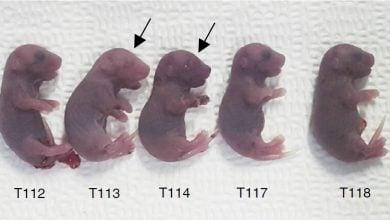 Photo of یک روش پربازده برای ویرایش تکبازها در جنین موش