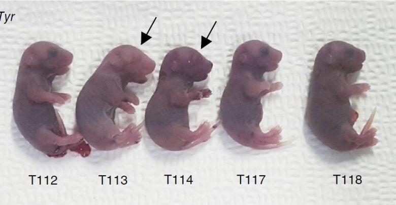 یک روش پربازده برای ویرایش تکبازها در جنین موش - زیست فناوری