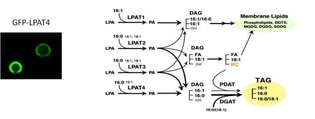 دانشمندان آنزیم LPATs 1-i یا لیزوفسفاتیدیک اسید آسیل ترنسفراز را، به عنوان آنزیم مرکزی برای سنتز تریآسیلگلیسرول توسط جلبکهای روغنی از دسته Nannochloropsis، شناسایی کردند. این دستیافت منجر به کشف مکانیسم تولید سوختهای زیستی در ریزجلبکها شدهاست.