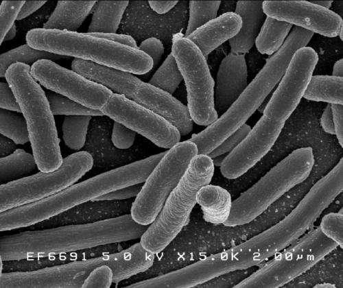 افزایش بهره وری باکتری توسط مهندسان شیمی - اخبار زیست فناوری
