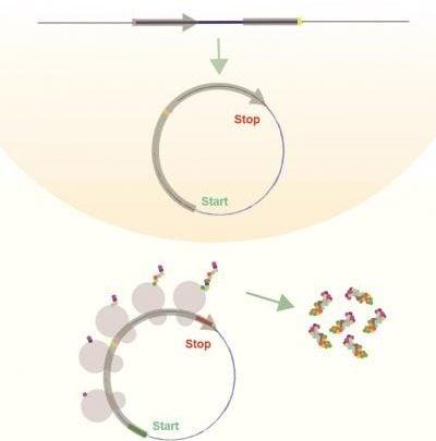 کد کردن پروتئین توسط RNAهای حلقوی