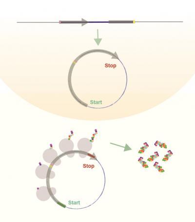 کد کردن پروتئین توسط RNAهای حلقوی - اخبار زیست فناوری