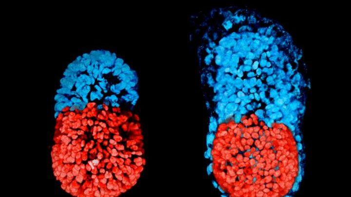محققان دانشگاه کمبریج انگلستان موفق به ساخت رویان مصنوعی موش شدهاند. در این رویان، تمام قسمتها سر جای صحیحشان قرار دارند ولی کیسه زرده تشکیل نشده است و به جای آن یک حفره وجود دارد. بنابراین، رویان ساخته شده بسیاری از مراحل تکوین را میگذراند ولی نه کاملاً، چون فاقد کیسه زرده است.
