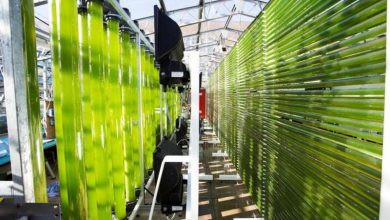 سیانوباکترها: آینده ضدآفتاب ها - زیست فناوری