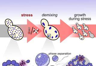 پاسخ بهتر سلول های در معرض تنش با کمک مولکول های ژل مانند - زیست فناوری