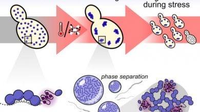 Photo of پاسخ بهتر سلول های در معرض تنش با کمک مولکول های ژل مانند