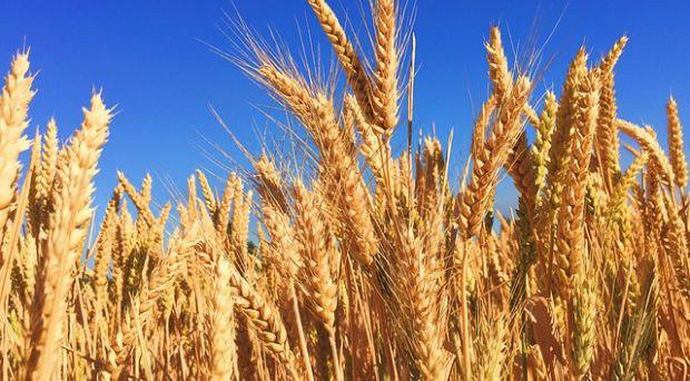 """فرایند هابر-بوش توانایی تولید کودهای نیتروژنی مصنوعی را فراهم کرده که موجب افزایش بازده محصولات کشاورزی و توسعه یافتن جمعیت جهان شده است. اما این دستاورد ضررهای محیطزیستی زیادی ایجاد کرده است. اخیراً یک مقاله مروری که در ژورنال «Agriculture & Food Security» چاپ شده است، پروژهای تحقیقاتی را توصیف میکند که به دنبال استفاده از باکتریهای تثبیتکننده نیتروژن طبیعی که در حبوبات یافت میشوند، در محصولات کشاورزی دیگر مثل ذرت، گندم و برنج هستند. پروژه ای که به قول، تد کوکینگ (از نویسندگان مقاله) ظهور احتمالی انقلاب سبز""""تر"""" را نوید می دهد."""