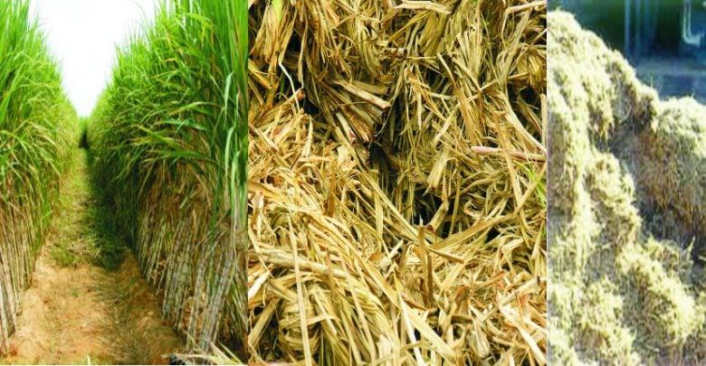 یک تیم تحقیقاتی دانشگاه ایلینوی از طریق مهندسی ژنتیک، نیشکر را برای تولید روغن در برگ و ساقه ی خود به منظور تولید سوخت زیستی اصلاح کرد. این نیشکر اصلاح شدهی ژنتیکی به طور قابل توجهی قند بیشتری نسبت به شاهد تولید می کند که برای تولید اتانول میتواند استفاده شود.