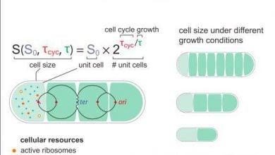 Photo of سلول های باکتریایی، اندازهای بنیادی دارند